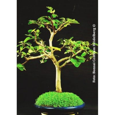 Bonsai Seeds –  20042 Ficus carica