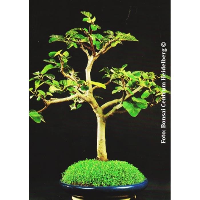 Σπόροι Bonsai – 20042 Ficus carica