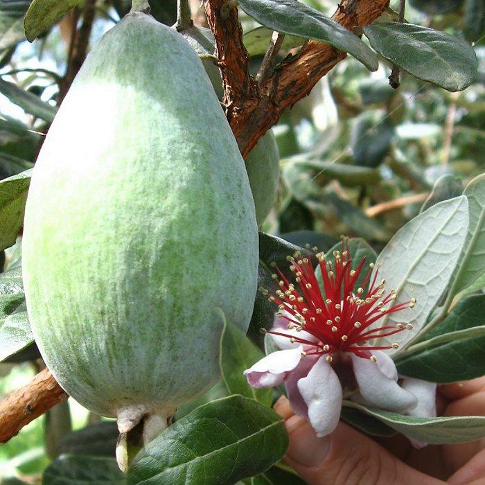 ef 12313193 pineapple guava feijoa acca sellowiana valentine e shop. Black Bedroom Furniture Sets. Home Design Ideas