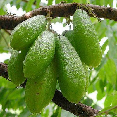 EF 12339981 Bilimbi, Cucumber tree - Αγγουρόδεντρο (Averrhoa bilimbi)