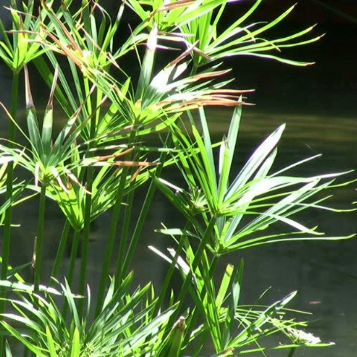 Σπόροι νουφάρων και υδροχαρών φυτών