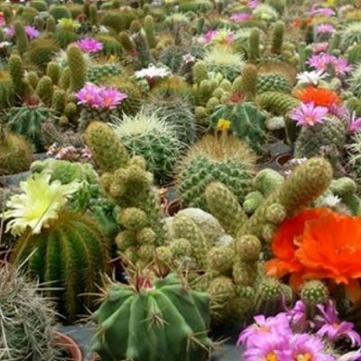 Cacti and Succulents Seeds