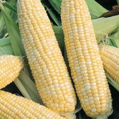 Corn Seeds - DF 98541 Double Standard (Zea mays sacharata)