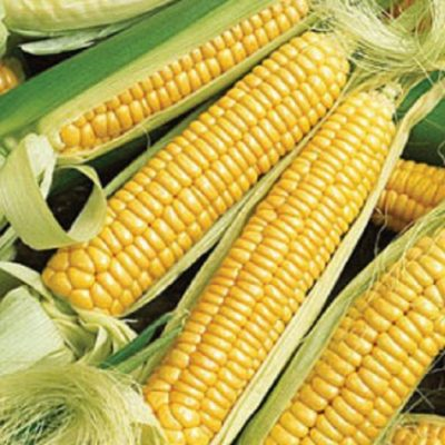 Corn Seeds - DF 98420 Golden Bantam (Zea mays sacharata)