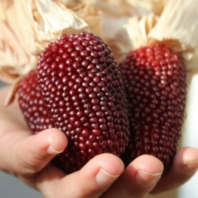 Corn Seeds - DF 98701 Strawberry Popcorn  (Zea mays erverta globuli)