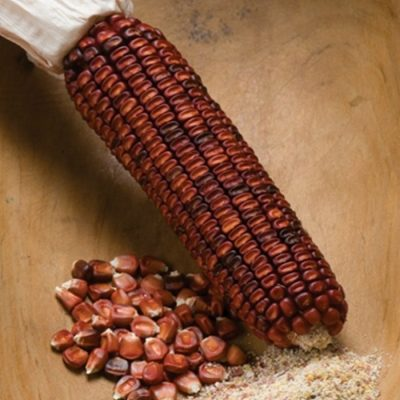 Corn Seeds - DF 98537 Strubbes Orange (Zea mays dentiformis)
