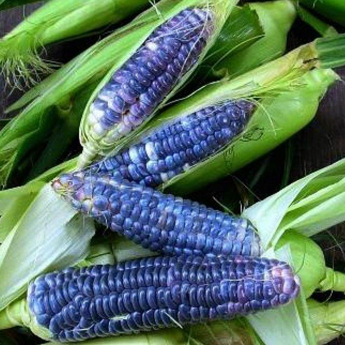 Σπόροι καλαμποκιού - DF 98704 Blue Jade (Zea mays sacharata)