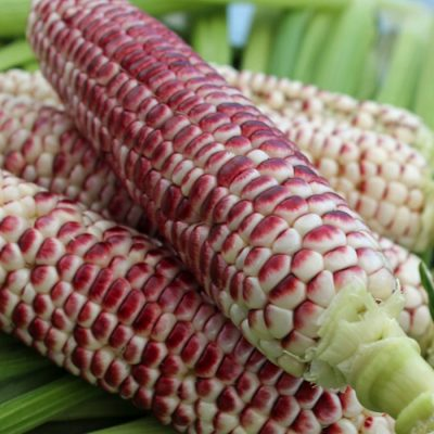 Corn Seeds - DF 98740 Sweet Red (Zea mays sacharata)