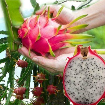 EF 12301762 Pitaya, Pitahaya, Dragonfruit white - Το φρούτο του δράκου κόκκινο λευκόσαρκο (Hylocereus undatus)