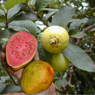 EF 12396304 Guava red - Γκουάβα κοκκινόσαρκη (Psidium guajava)