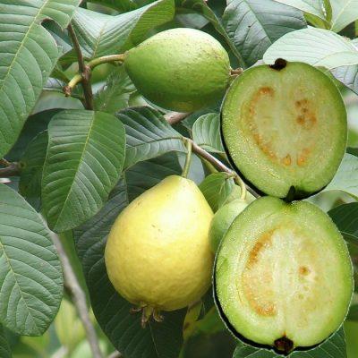 EF 12301795 Guava white - Γκουάβα λευκόσαρκη (Psidium guajava)