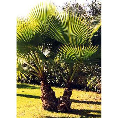 12394 Washingtonia robusta