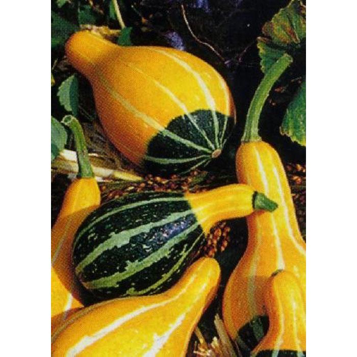13075 Poires bicolores (Cucurbita pepo)