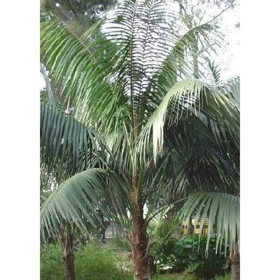 13117 Howea forsteriana