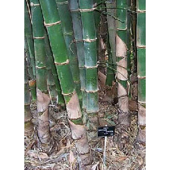 13317 Bambusa balcooa - Μπαμπού Αυστραλίας
