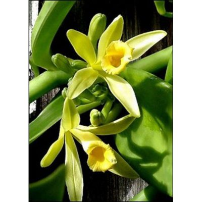 17508 Vanilla planifolia
