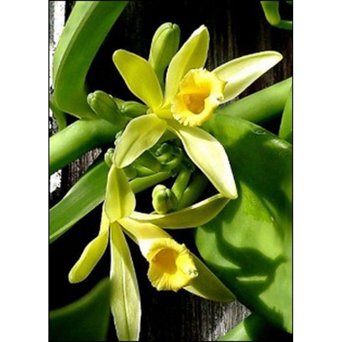 17508 Vanilla planifolia - Βανίλια Μαδαγασκάρης