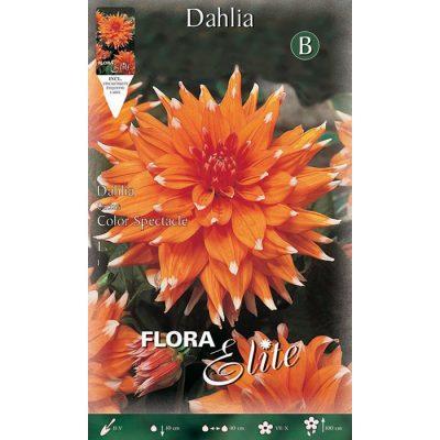 614743 Dahlia Color Spectacle