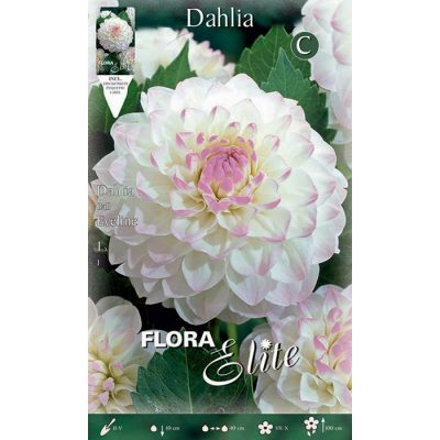 619571 Dahlia Eveline