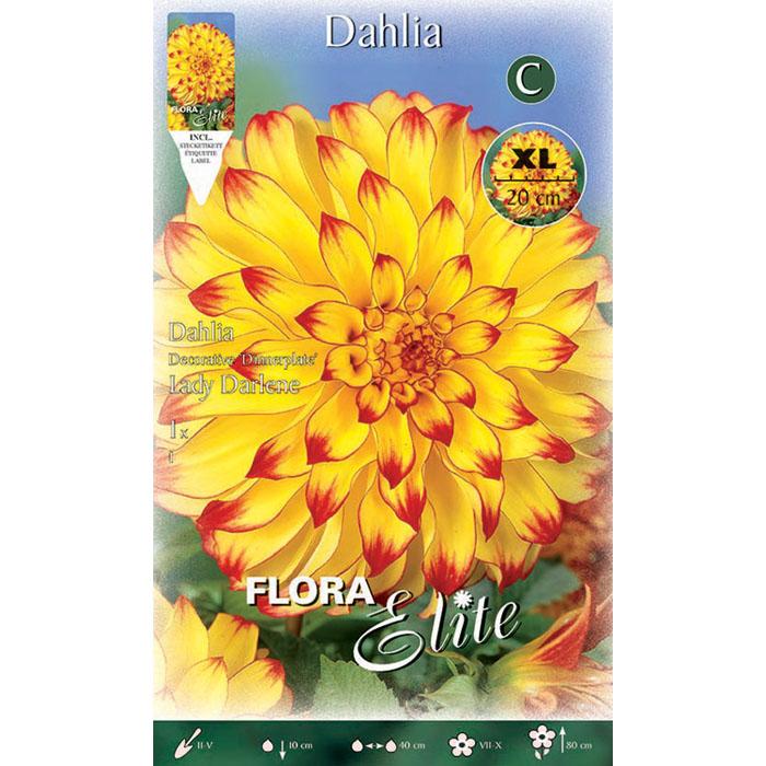 785399 Dahlia - Ντάλια Lady Darlene