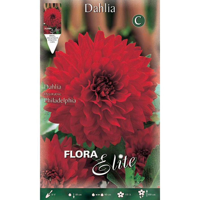 234705 Dahlia - Ντάλια Philadelphia