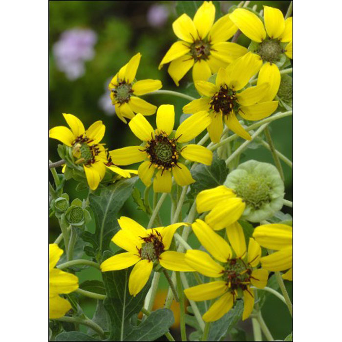 17514 Berlandiera lyrata - Λουλούδι σοκολάτας