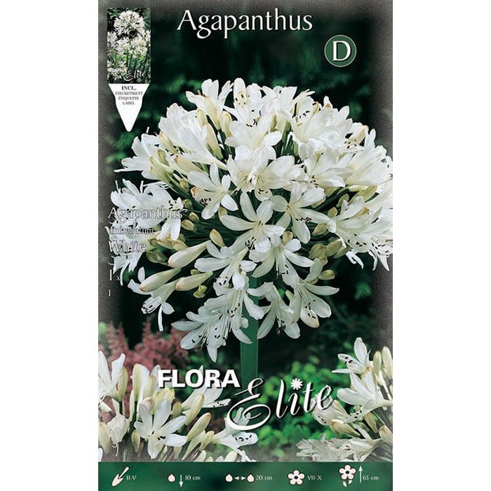 802270 Agapanthus - Αγάπανθος White