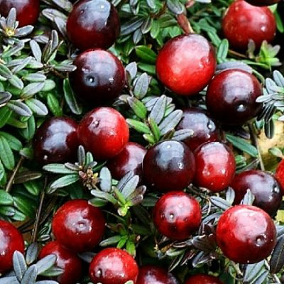 Fruitful shrub – Cranberry 12101