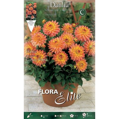 620768 Dahlia Pablo