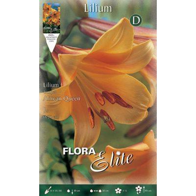834127 Lilium African Queen