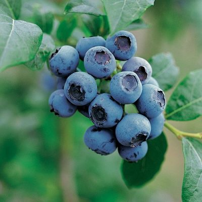 Fruitful shrub – Blueberry 12043