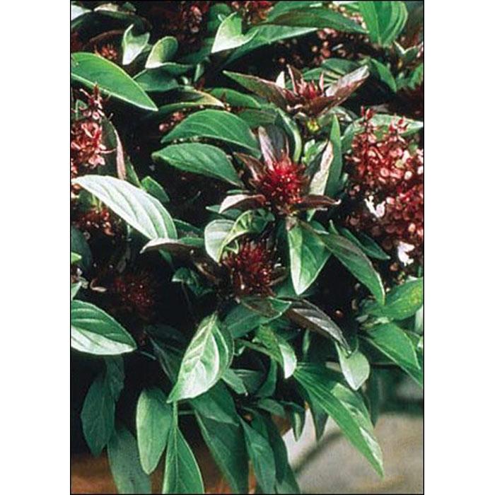 "17510 Ocimum basilicum ""thai"" - Βασιλικός Ταϊλάνδης"
