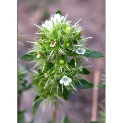 17512 Thymus mastichina