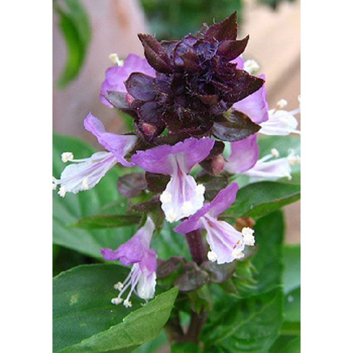 17518 Ocimum basilicum cinnamon - Βασιλικός Κανελλάτος