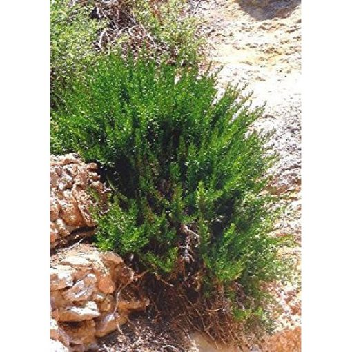 "17520 Rosmarinus officinalis ""Provence"" - Δενδρολίβανο"