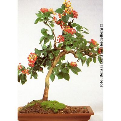 Bonsai Seeds – 14312 Lantana camara