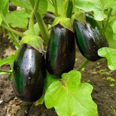PR 7907 Bonica F1 - Μελιτζάνα - Solanum melongena