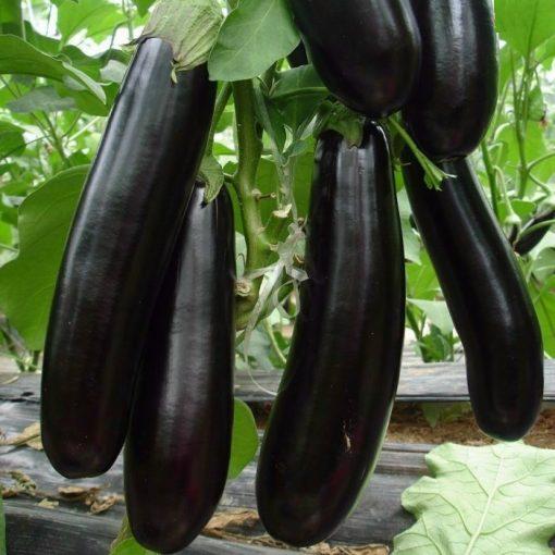 PR 7901 Lagada - Μελιτζάνα - Solanum melongena