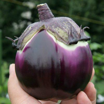 PR 7909 Prosperosa F1 - Μελιτζάνα - Solanum melongena