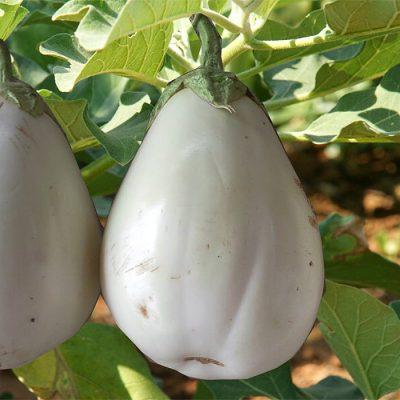 PR 7904 Santorini - Μελιτζάνα - Solanum melongena