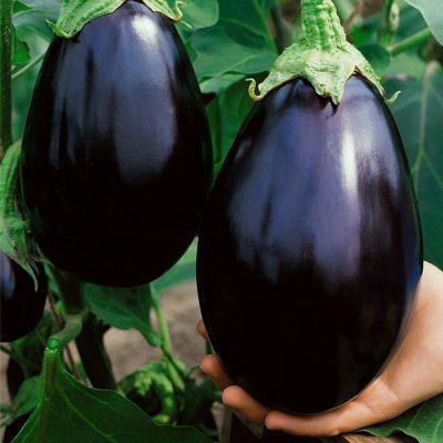 ΜΤ 7006 Black Beauty - Μελιτζάνα - Solanum melongena
