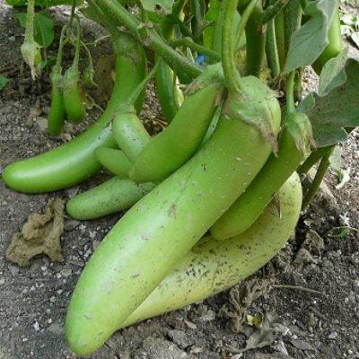 ΜΤ 7007 Louisiana - Μελιτζάνα - Solanum melongena