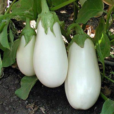 ΜΤ 7008 Casper - Μελιτζάνα - Solanum melongena