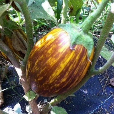 ΜΤ 7009 Udumalpet - Μελιτζάνα - Solanum melongena