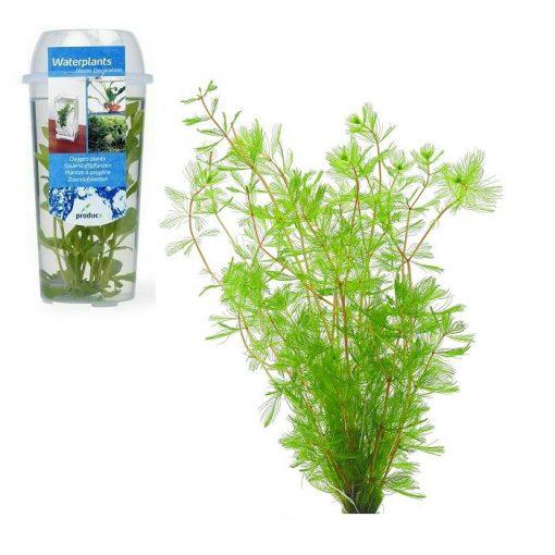 OP 06 Myriophyllum spicatum