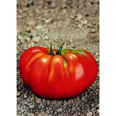 13413 Rouge Marmande F1 - Lycopersicon esculentum