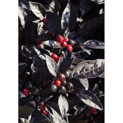13534 Topfchili - Black Pearl F1 - Πιπεριά Τσίλι - Capsicum chinense