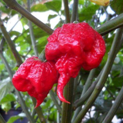 ASK 4202 Carolina Reaper - Πιπεριά Τσίλι - Capsicum chinense