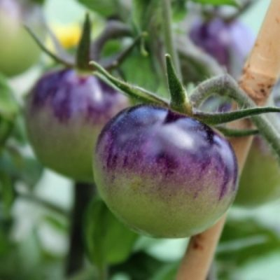 DF 5005 Blueberry - Ντομάτα - Lycopersicon esculentum