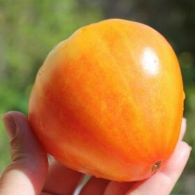 DF 5016 Orange Russian - Ντομάτα - Lycopersicon esculentum